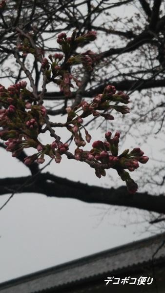 門出の桜2