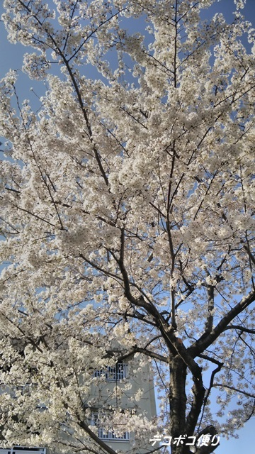 満開の桜6