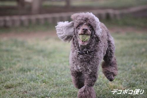 GW最終日のドッグラン~小型犬編4