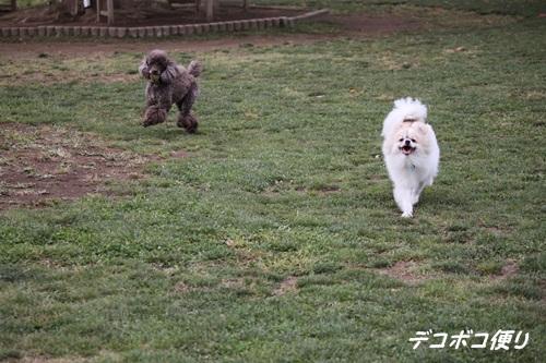 GW最終日のドッグラン~小型犬編8