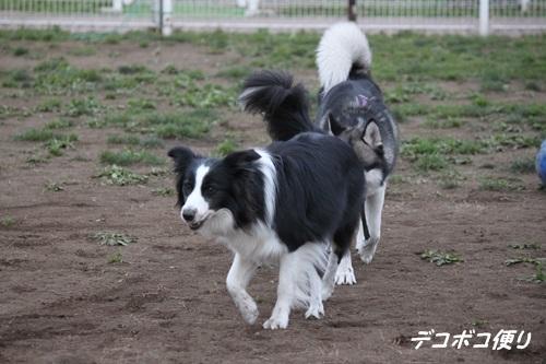 GW最終日のドッグラン~中型大型犬編8