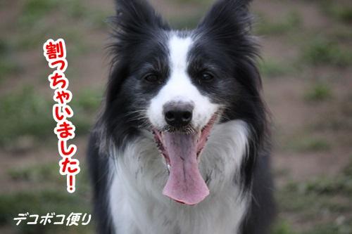 GW最終日のドッグラン~中型大型犬編12