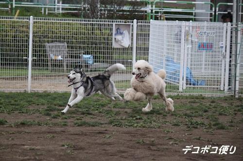 GW最終日のドッグラン~中型大型犬編13