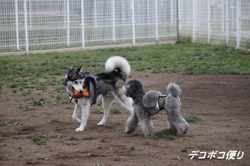 GW最終日のドッグラン~中型大型犬編14