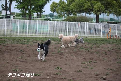 GW最終日のドッグラン~中型大型犬編16