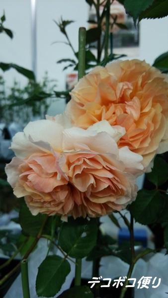 絆という名の薔薇1