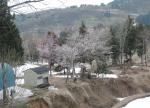 残雪の中の桜