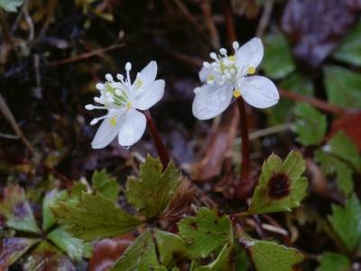 バイカオウレンの花1