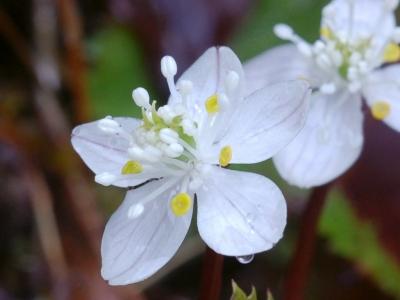 バイカオウレンの花のアップ