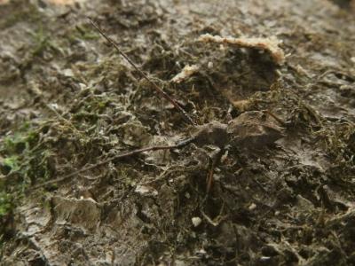 ダイセンセダカコブヤハズカミキリ