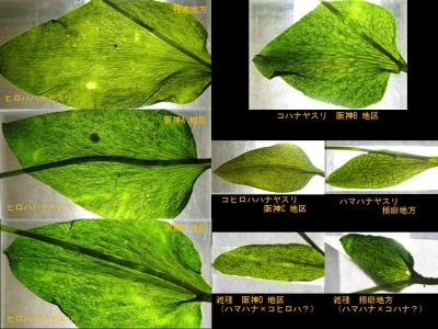 ハナヤスリ類の栄養葉の脈