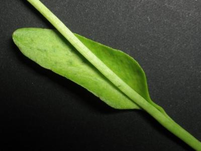 阪神D雑種の栄養葉