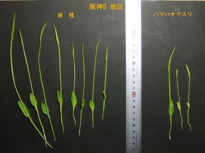 阪神Dの雑種とハマハナヤスリ