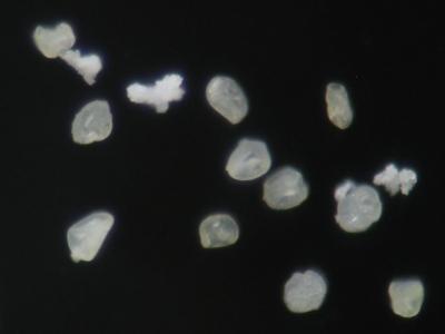 阪神Dの雑種集団の胞子