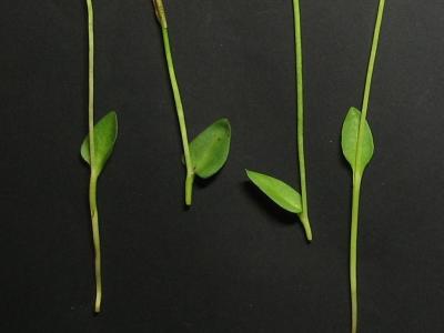 播磨雑種の栄養葉