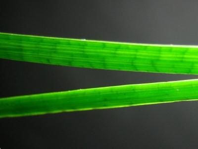 多管質の葉