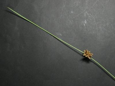 コホタルイ 苞葉と花序
