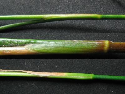 単管質3種の葉耳