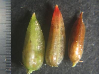 単管質3種の蒴果