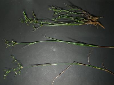 単管質3種の地上部標本