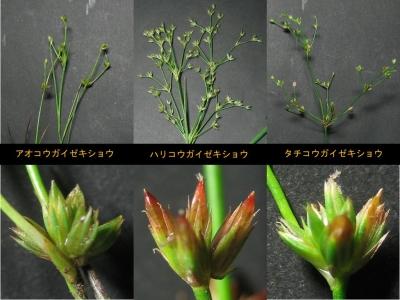 単管質3種の花序と頭花