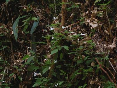 サツマイナモリ