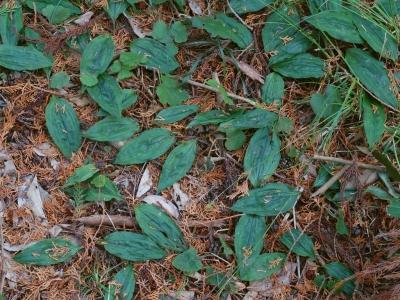 トケンランの根生葉