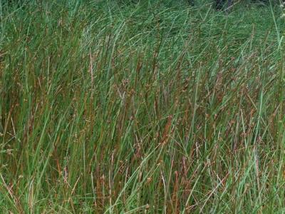 ツクシカンガレイ