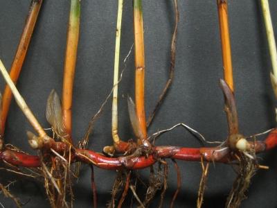 ツクシカンガレイ根茎