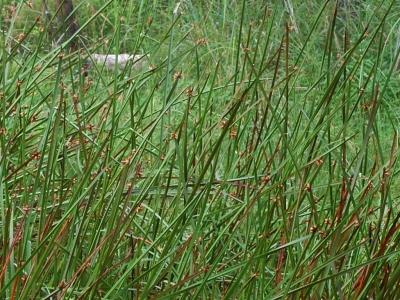 ツクシカンガレイ有花茎