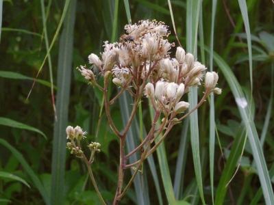 ヤブレガサモドキの花