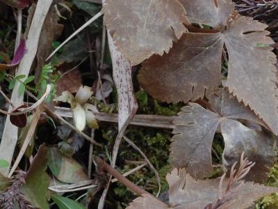 ユキワリイチゲのツボミ