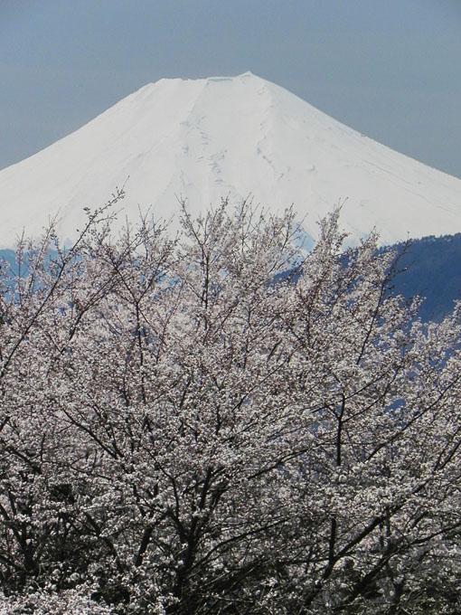 A018-1桜