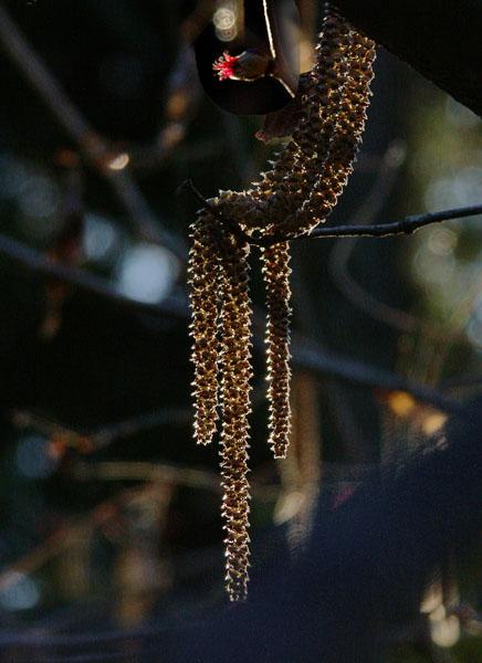 A018-2ツノハシバミ
