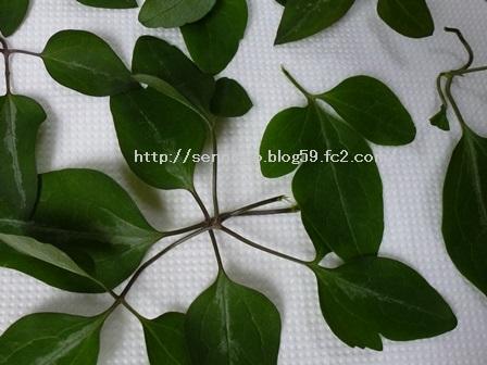 2014仙人草の葉2