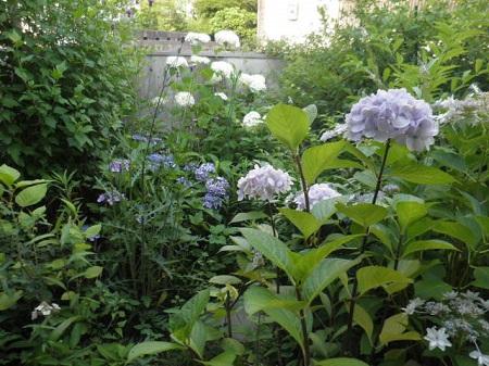 6-25紫陽花