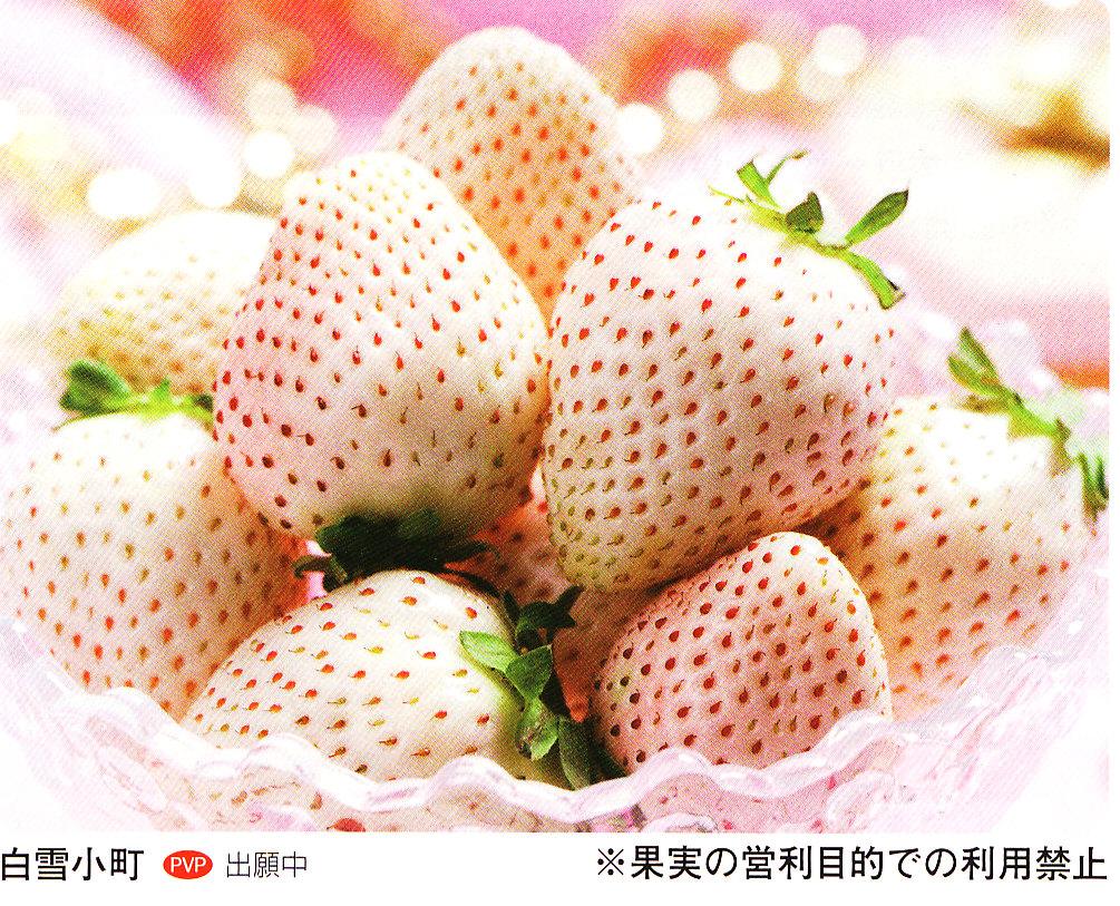 shirayuki-panf.jpg