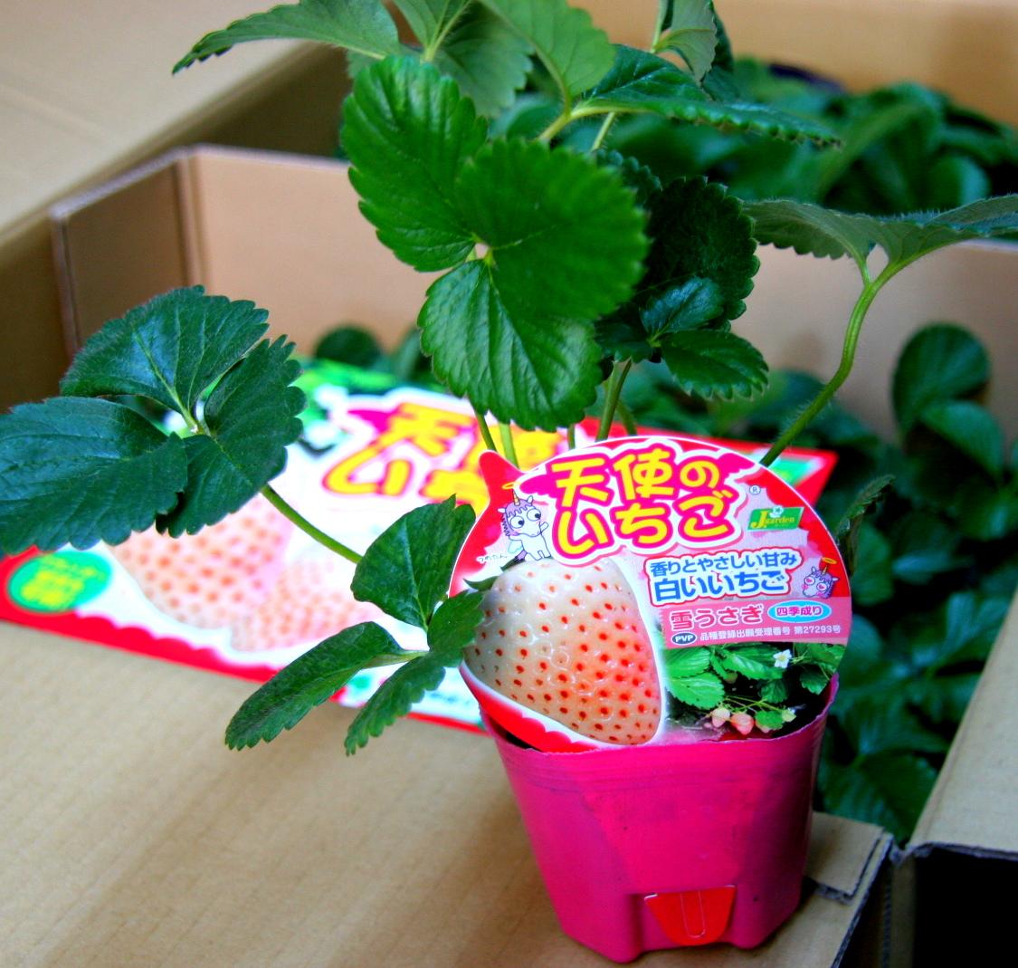 tenshinoichigo-yukiusagi2.jpg