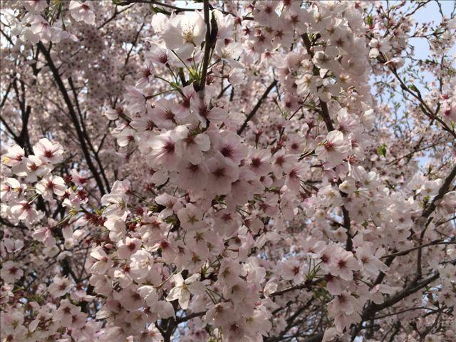 マテ貝 桜