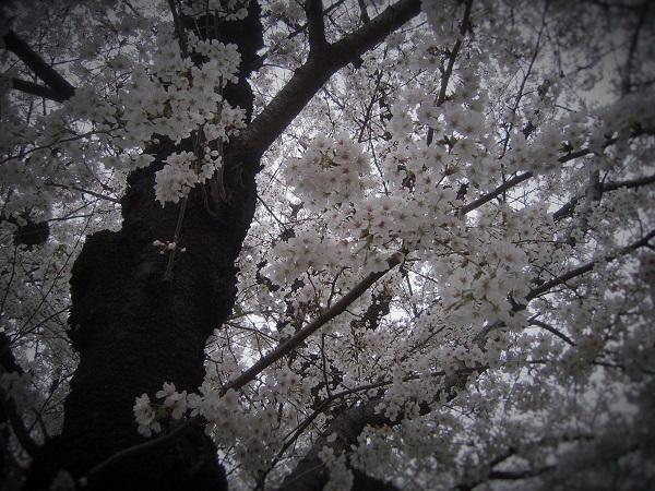 140423桜2