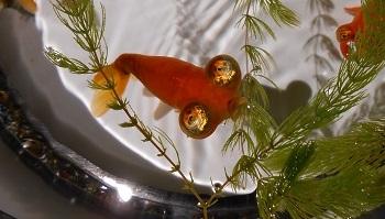 140902 金魚6