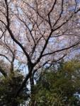 sakura20140328.jpg