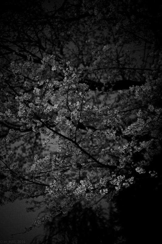 2014-04-07_sakura-04.jpg
