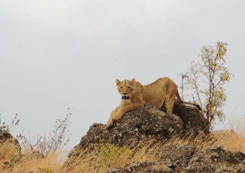 ライオン11