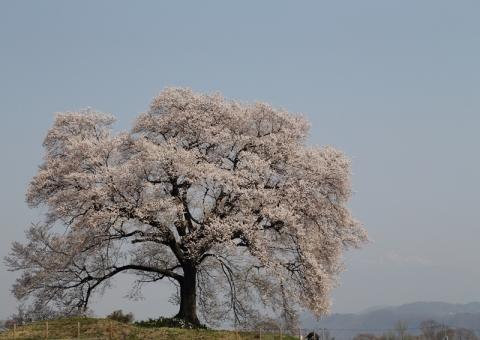 わに塚の桜1