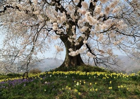 わに塚の桜2