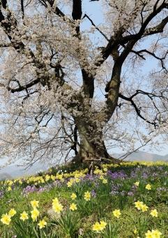 わに塚の桜4