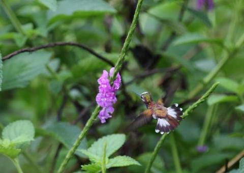 ワタボウシハチドリ2