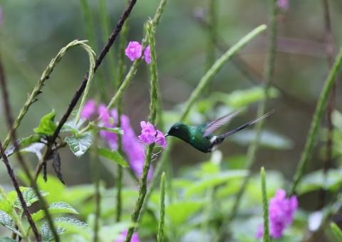 ミドリトゲオハチドリ1