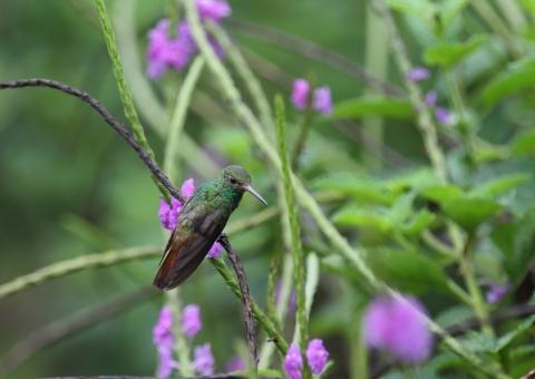 ハイバラエメラルドハチドリ1